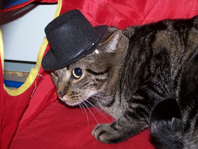 cat wears hat, funny cats, cat photos, cat pictures