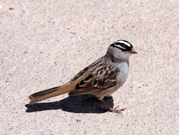 White-crowned Sparrow 053