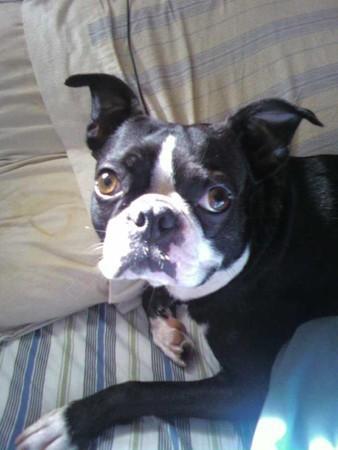 Lost Dogs Found Oreo Boston Terrier