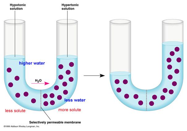 Living Environment Diffusion And Osmosis