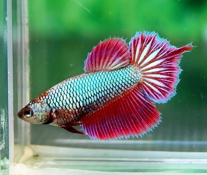 all about betta fish 2017