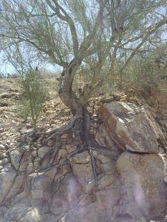 Root Wdge