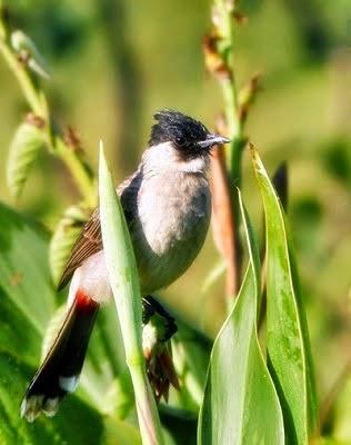 Foto Burung Kutilang Jantan