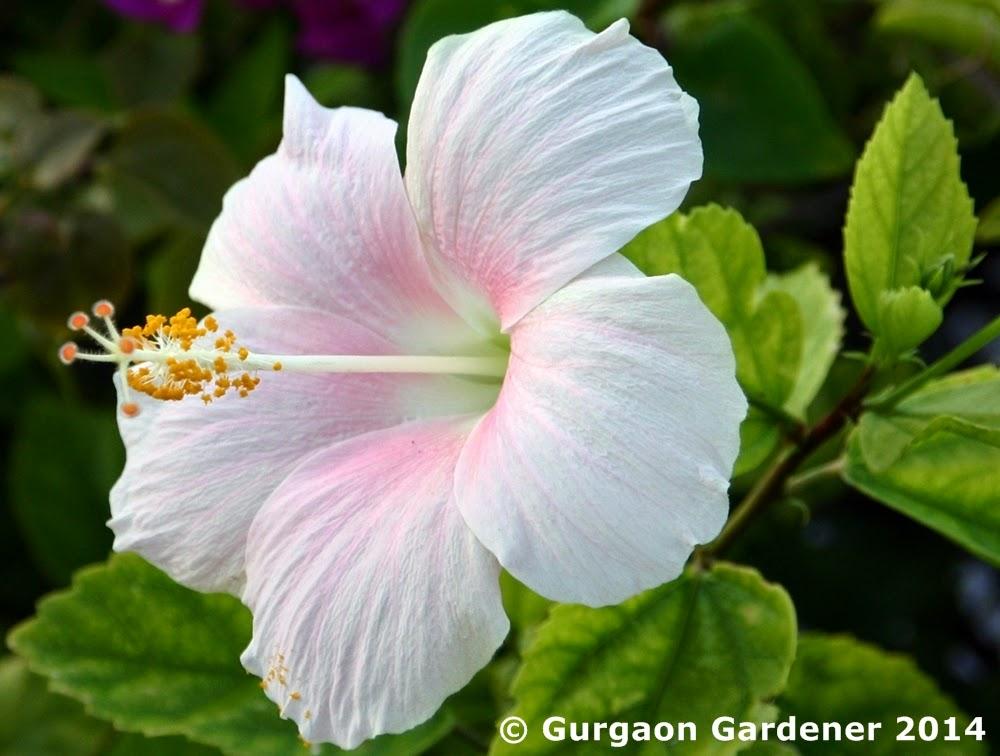Hibiscus rosa-sinensis - Biodiversity of India: A Wiki ...