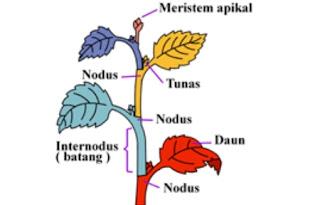 jaringan meristem apikal tumbuhan