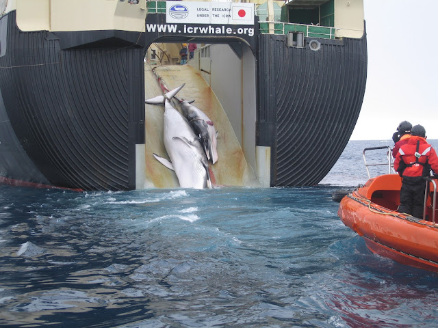 Whale and calf killed by whalers