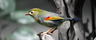 "Habitat dan Kebiasaan Burung Robin- Jenis burung ini terdapat di Amerika Utara, sebelah selatan Meksiko. Mungkin burung ini merupakan burung yang paling dikenal di daearh tersebut. Para pecinta burung pasti tak asing dengan burung robin. Sempat ngetop di tahun 1990-an, burung kicau impor asal China, Taiwan, dan Belanda ini menghilang saat flu burung merebank di Indonesia.    Tahun ini, kicau si robin kembali dicari.Meski termasuk burung impor, robin mudah beradaptasi di Tanah Air. Di habitat aslinya, robin hidup secara bergerombol. Ia juga termasuk burung yang lincah, terbang ke sana-kemari. ""Burung ini juga suka mengoceh hingga suara kandang ramai dan berisik,""Tempat yang sejuk menjadi habitat terbaik bagi burung robin."