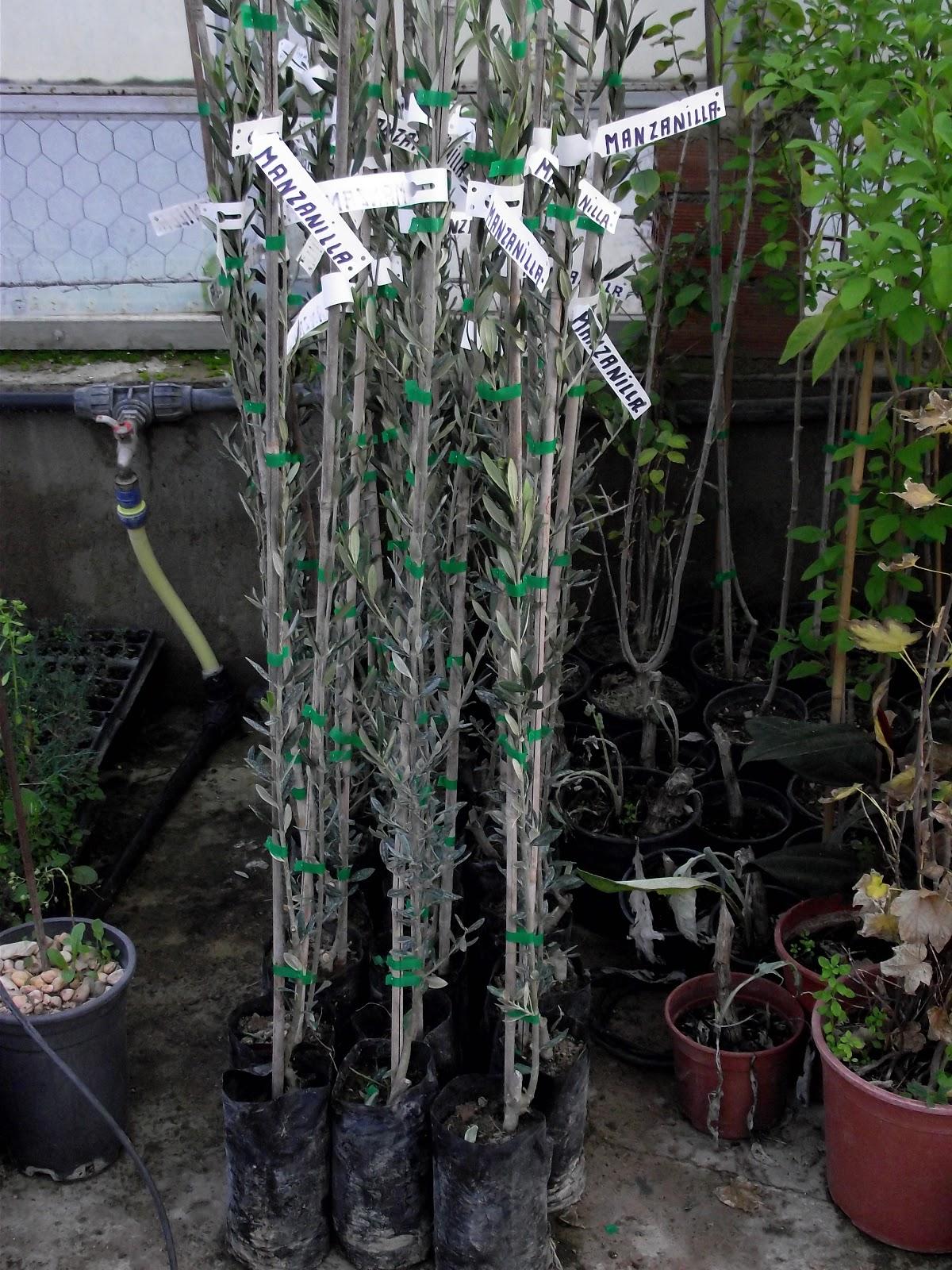 Viveros cortijo grande rboles frutales for Viveros arboles ornamentales