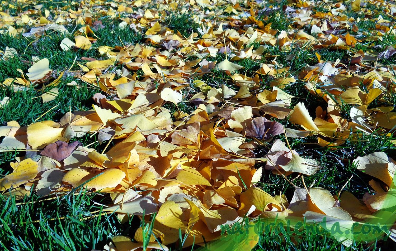 hojas de gingko sobre cesped