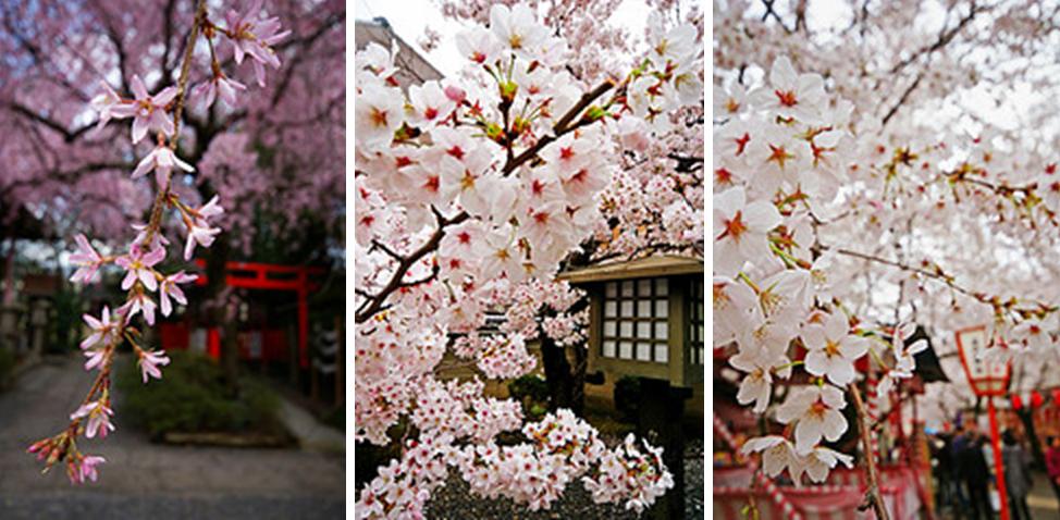 Cerezo en flor sakura caifaness for Arboles para jardin japones