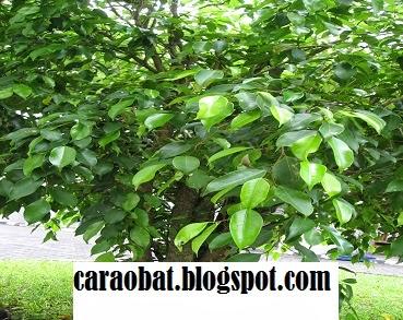 Manfaat Pohon Beringin