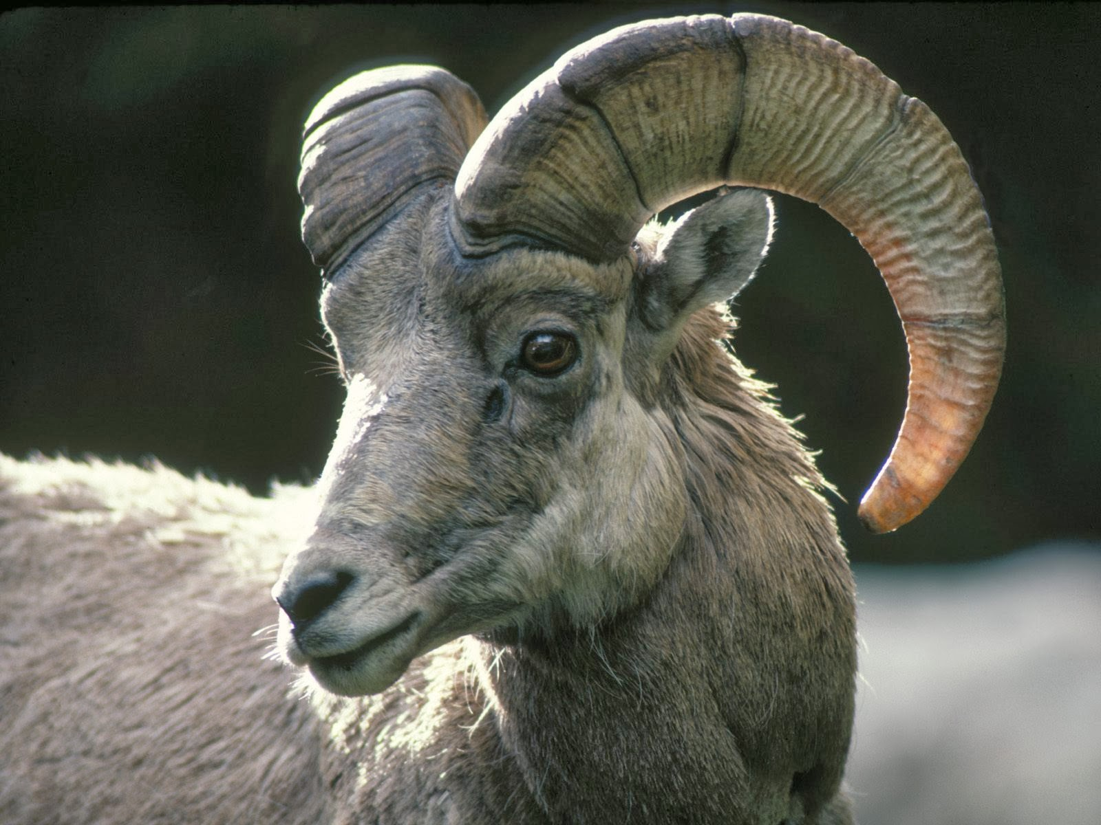 Bighorn Sheep Images