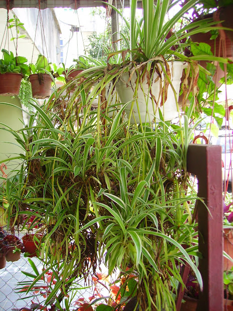 garden chronicles spider plant