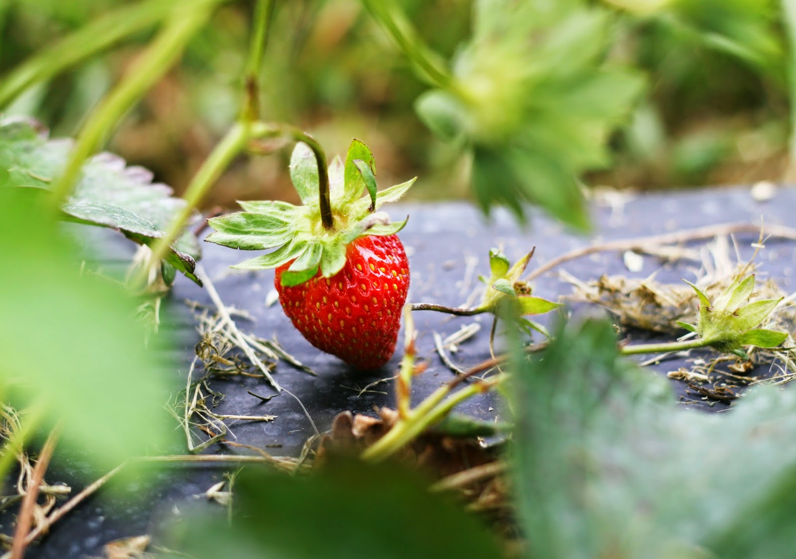 fresh strawberries on the vine fruit red ripe delicious