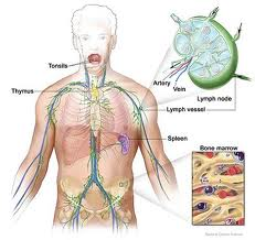 what is the role of the lymphatic system