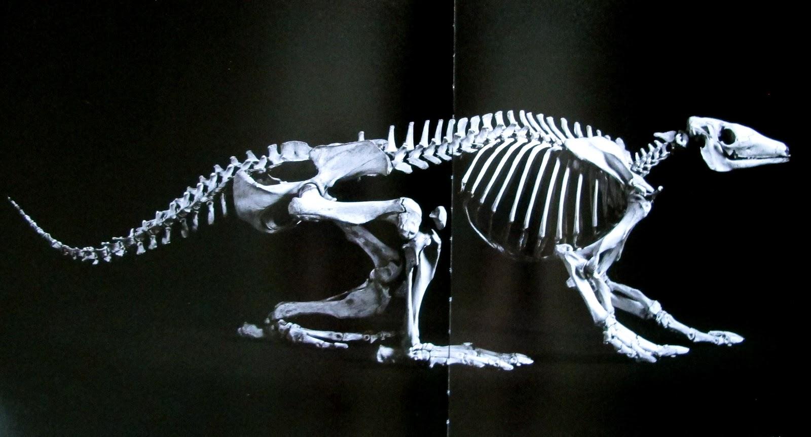 Aardvark skeleton - photo#6