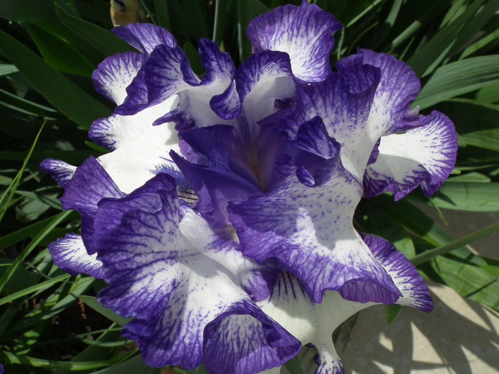 plum beadacious lavish blooms in my front yard iris. Black Bedroom Furniture Sets. Home Design Ideas