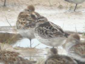 BROAD BILLED SANDPIPER-HOYLAKE-15TH MAY 2011