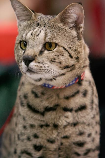 A Tough Savannah Cat