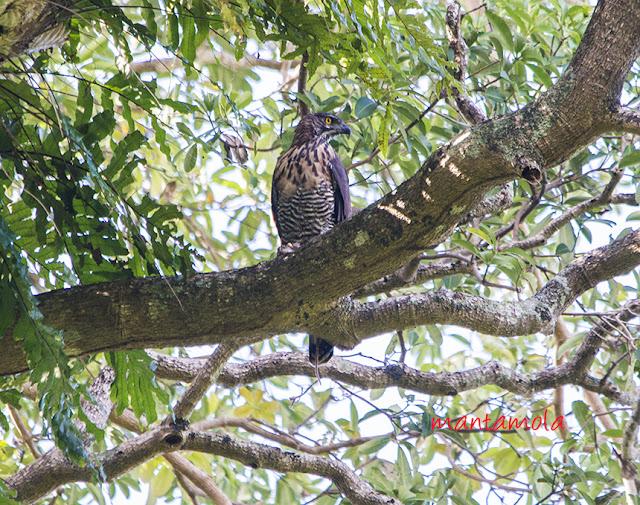 Sulawesi Hawk Eagle (Spizaetus lanceolatus)