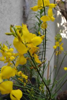 Retama. Retama sphaerocarpa. Flores amarillas muy perfumadas, rústica y con propiedades medicinales.