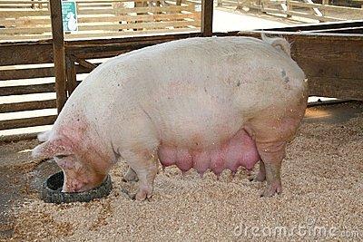 Sow Pig Farm, Farming And Pet Animals | ID: 13200144062