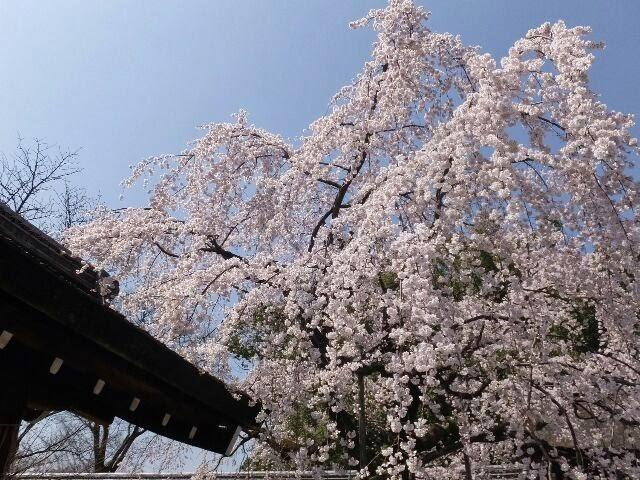 満開の枝垂れ桜、「魁桜(さきがけざくら)」が見ごろであった。