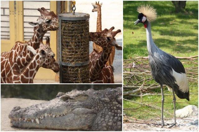 Jirafas, cocodrilo, pajaros en el Zoológico de Rotterdam o Diergaarde Blijdorp