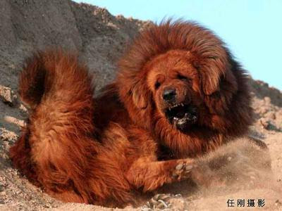 giant red tibetan mastiff - photo #21