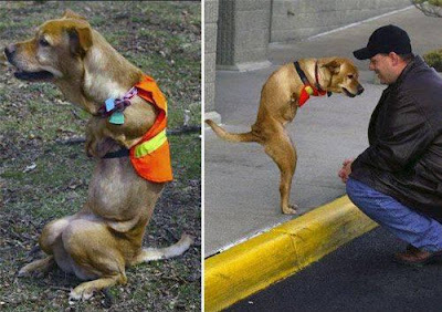 BIPEDAL DOG WHO HAS BEEN MADE AN HONORARY SERGEANT IN THE U.S. ARMY