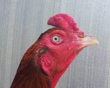 Demikian postingan tentang ciri ayam bangkok aduan pada muka mata
