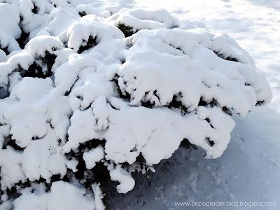 Czapy śniegu na iglakach