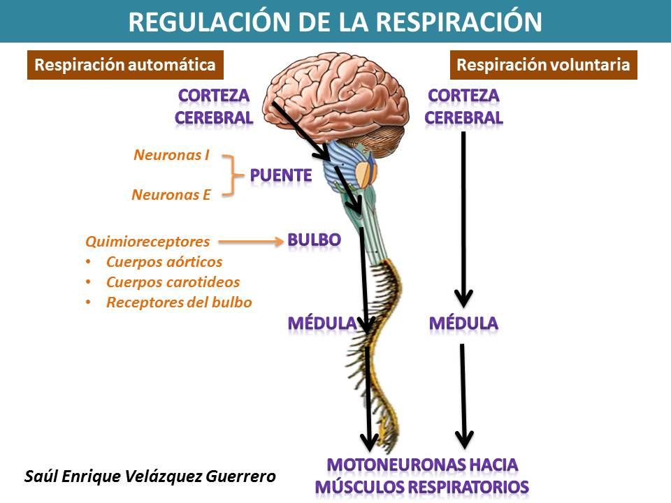 Regulación de la respiración   FISIOLOGÍA HUMANA