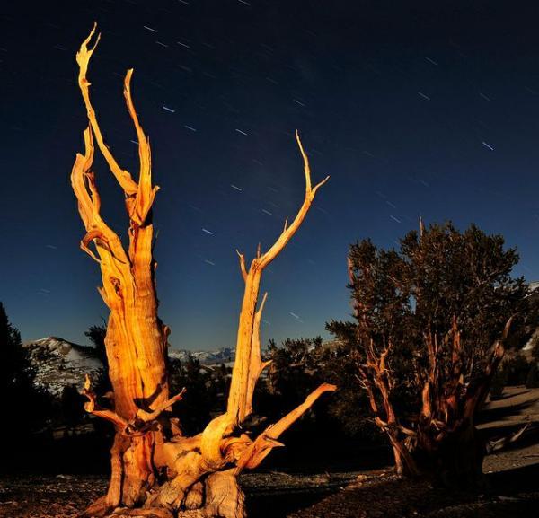 عينات '' لاقدم شجرة'' في العالم بالصور 2_bristlecone.img_assist_custom-600x577