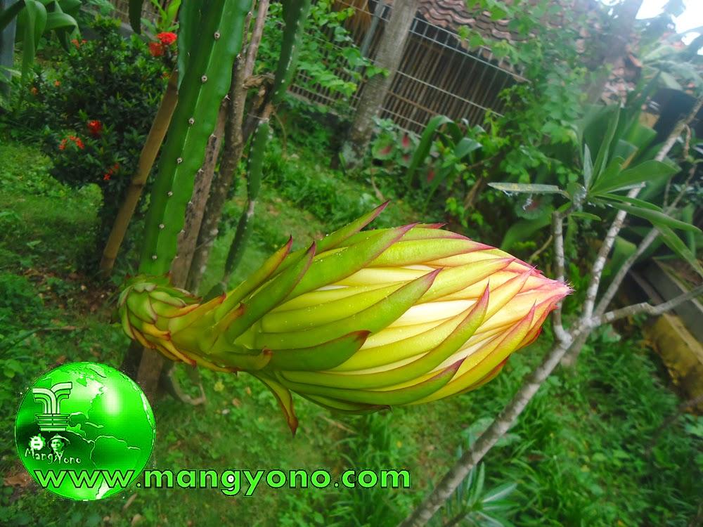 Foto 2. Bunga buah Naga terlihat mau mekar dari kuncupnya