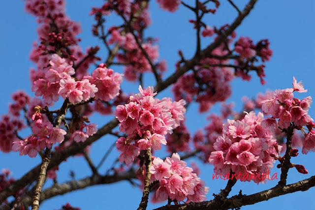 Cherry blossom, Thailand
