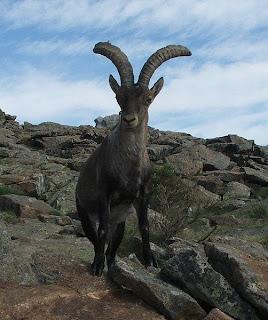 animales-raros-cabra-montesa