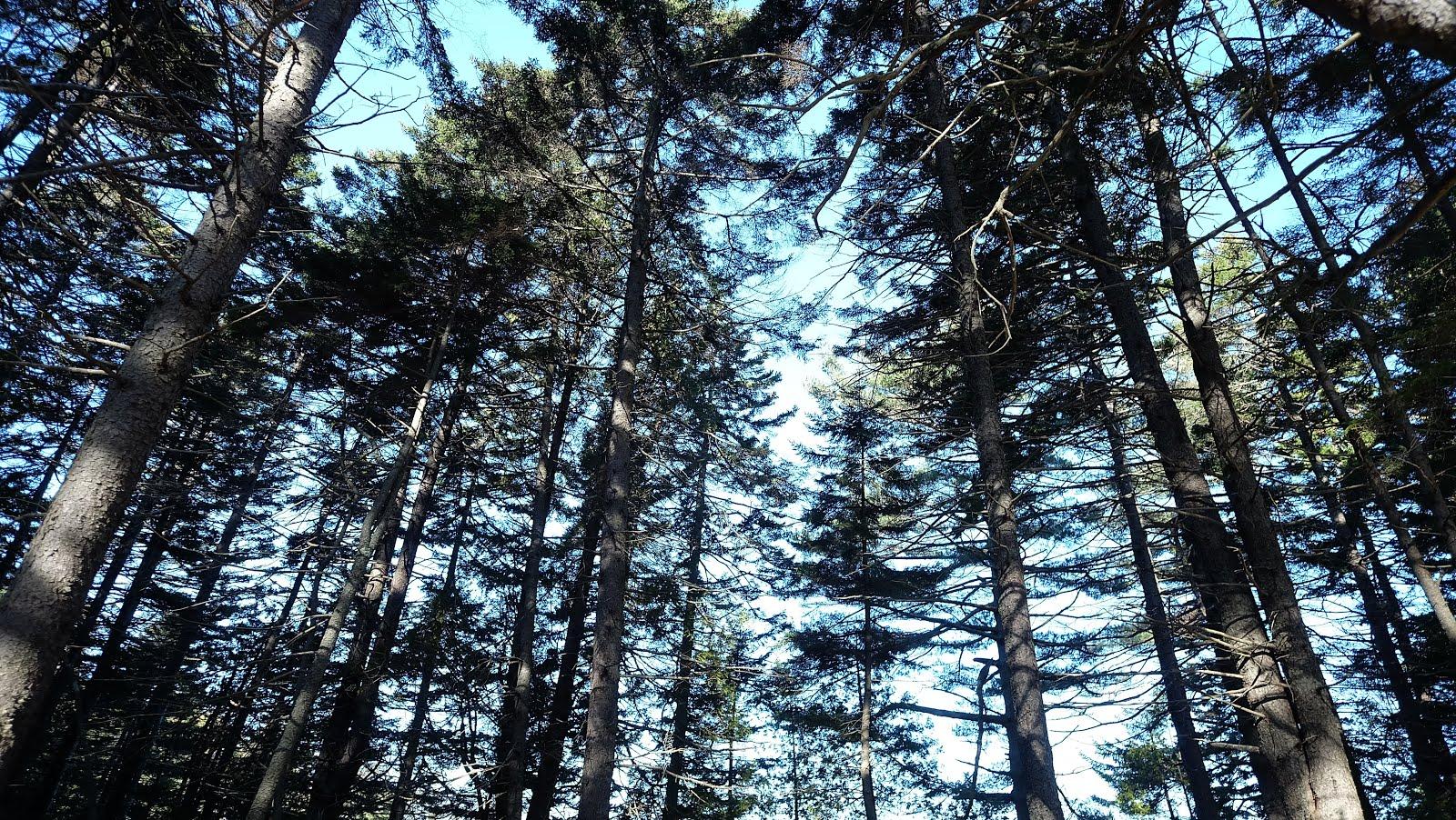 Maine Trees