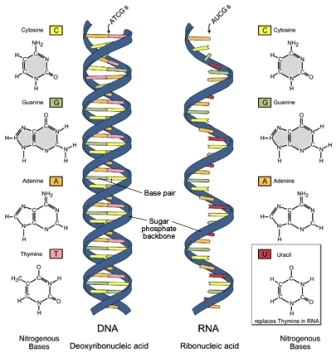Differences between DNA and RNA (DNA vs RNA) ~ Biology Exams 4 U