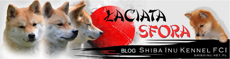 "Shiba inu blog hodowli ""Łaciata Sfora"""