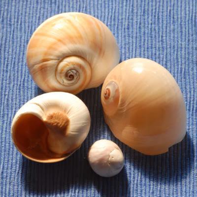 Moon Shells