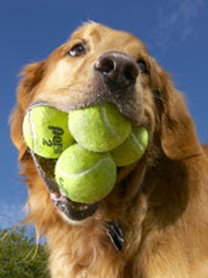 Dog with tennis balls in mouth