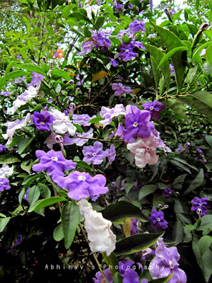 Yesterday today and tomorrow or Brunfelsia pauciflora
