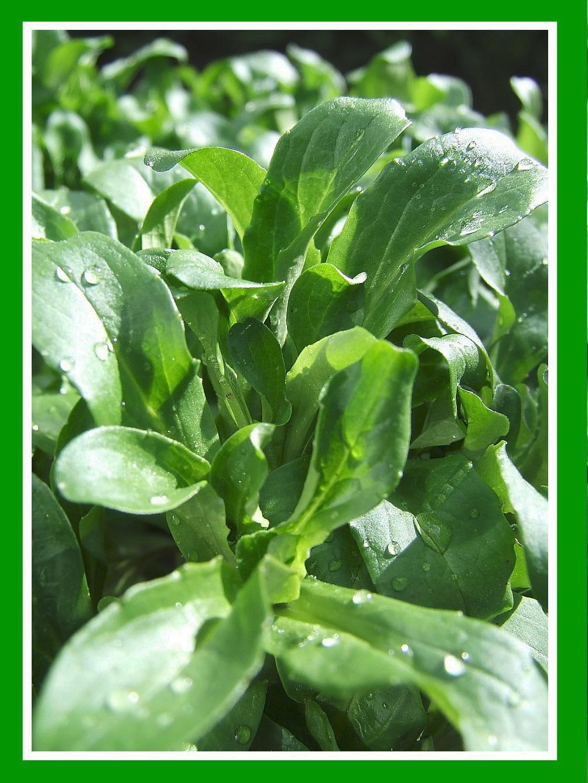 Selinum cryptotaenium Rare Umbellifer Perennial Plant in 9cm Pot
