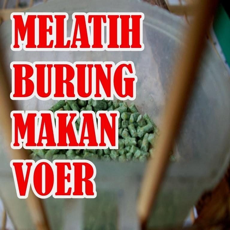 http://ilmukicau.blogspot.com/p/cara-melatih-mb-makan-voer-c-ara.html