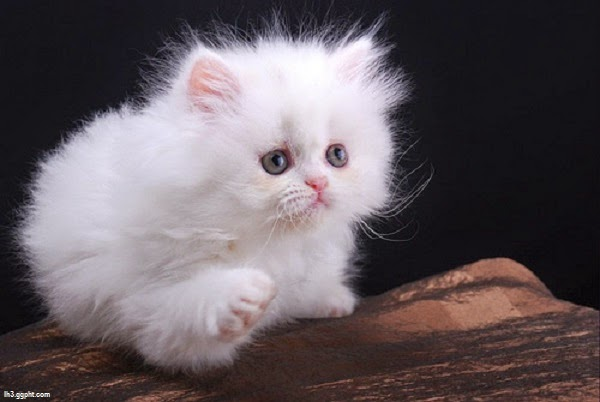 Photo chaton blanc mignon