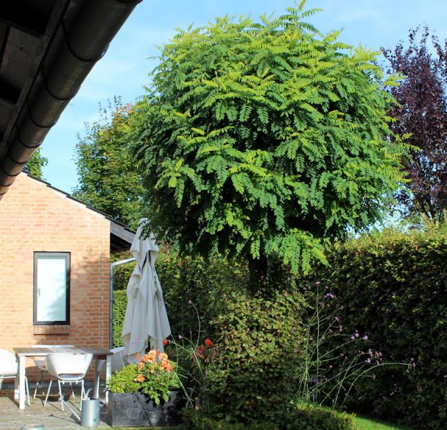 akacietræ i danmark
