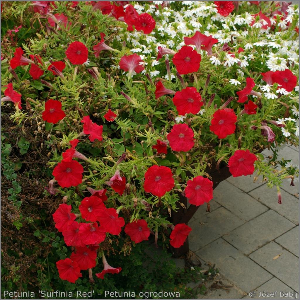 Petunia 'Surfinia Red' - Petunia ogrodowa 'Surfinia Red'