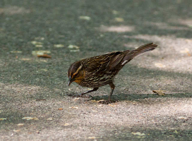 Red-winged Blackbird - New York