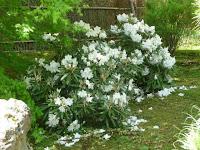 落下盛んな白い石楠花